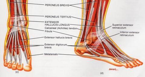 Artriidi haavandid liigestele Sorrel liigese haiget